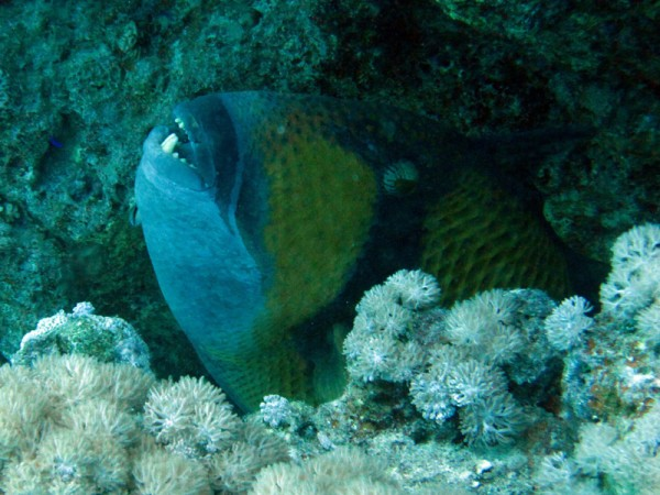 Blauwvintrekkervis | Titan triggerfish | Ballistoides viridescens | Small Giftun | 12-09-2009