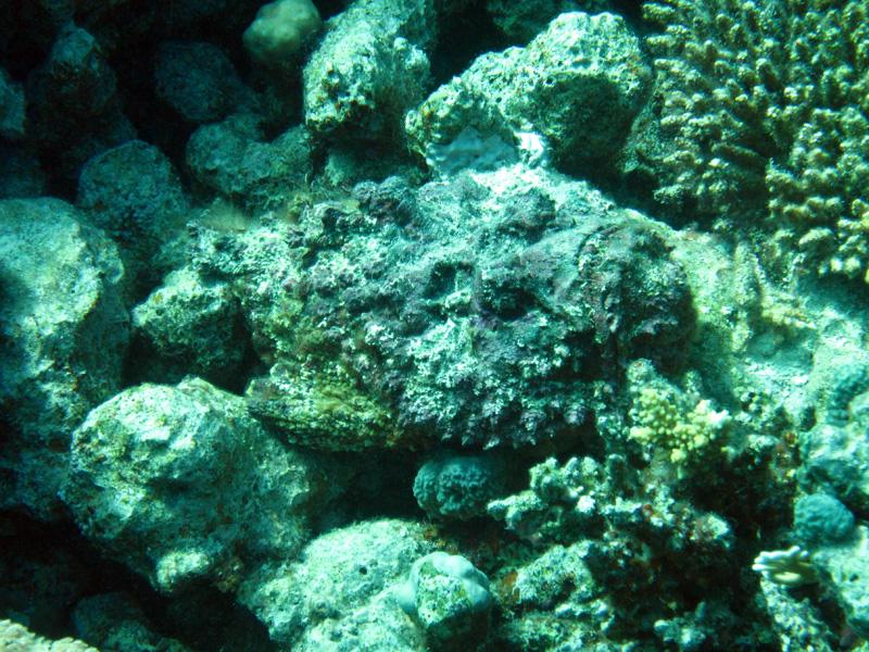 Echte steenvis | Stonefish | Synanceia verrucosa | Small Giftun | 12-09-2009