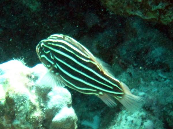 Zwart-wit gestreepte zeepvis   Sixstriped soapfish   Grammistes sexlineatus   Fanadir Zuid   14-09-2009