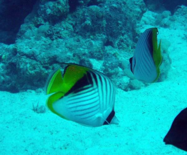 Oogvlekkoraalvlinder | Threadfin butterflyfish | Chaetodon auriga | Small Giftun | 12-09-2009