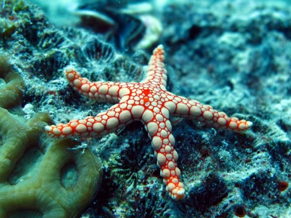 Kiezel zeester | Pebbled Sea Star | Celerina heffernani | Shaab el Erg | 20-09-2009