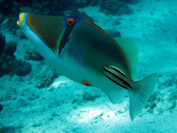 Picassotrekkervis | Picassofish | Rhinecanthus assasi | Fanadir Zuid | 14-09-2009