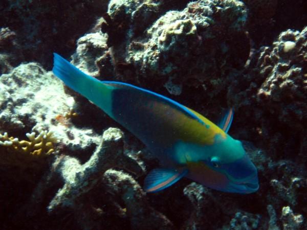 Stierkoppapegaaivis | Bullethead parrotfish | Chlorurus sordidus | Fanadir Zuid | 14-09-2009