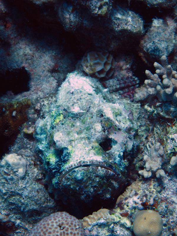 Valse steenvis | Devil scorpionfish | Scorpaenopsis diabolus | Fanous Oost | 14-09-2009