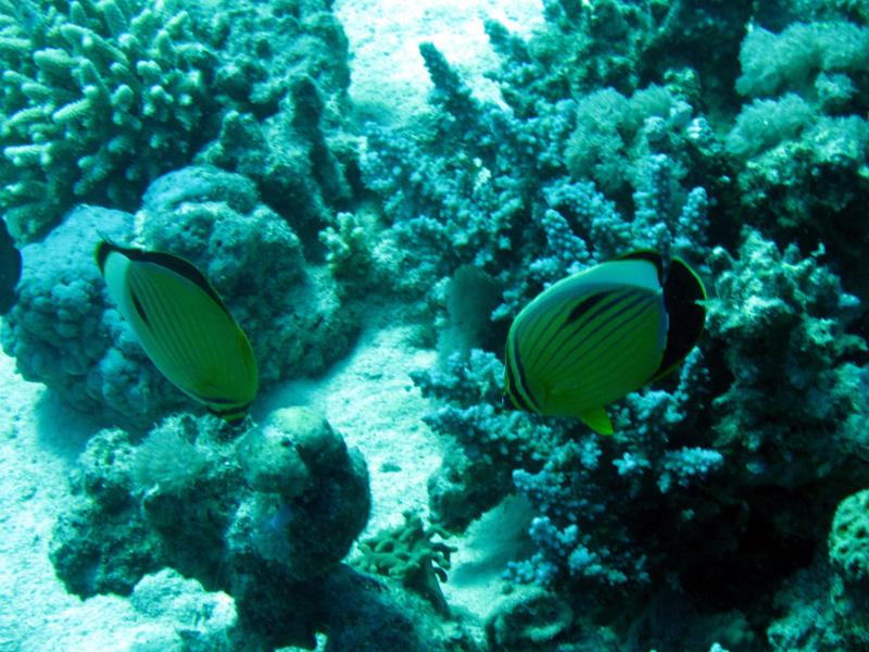 Zwartstaartkoraalvlinder | Exquisite butterflyfish | Chaerodon austriacus | Fanous Oost | 14-09-2009