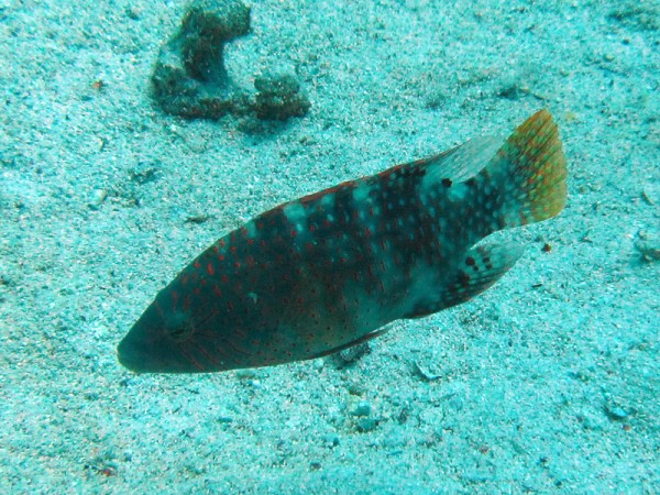 Abudjubbe lipvis | Abudjubbe Wrasse | Cheilinus abudjubbe | Fanous West | 24-06-2010
