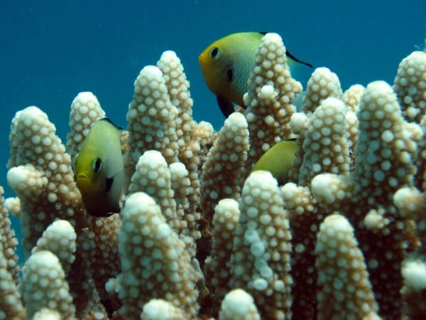 Vingerhertshoornkoraal | Finger Staghorn Coral | Acropora humilis | Abu Hashees | 18-09-2009