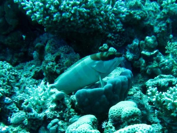 Alpinotandbaars | Blacktip grouper | Epinephelus fasciatus | Bananareef | 25-03-2010