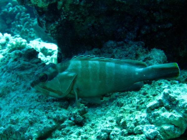 Alpinotandbaars | Blacktip grouper | Epinephelus fasciatus | Erg Somaya | 24-03-2010