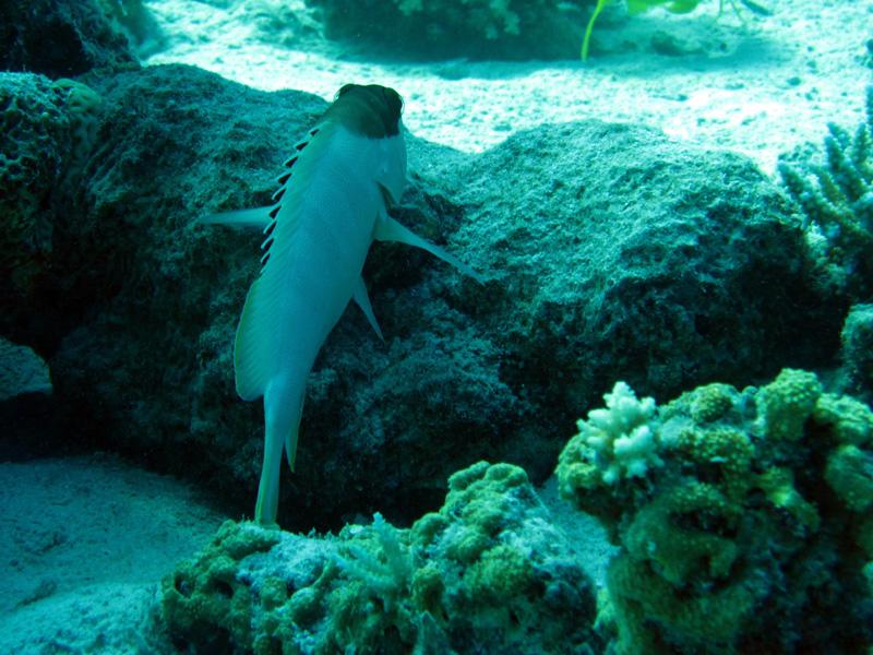 Alpinotandbaars | Blacktip grouper | Epinephelus fasciatus | Fanous Oost | 20-09-2009