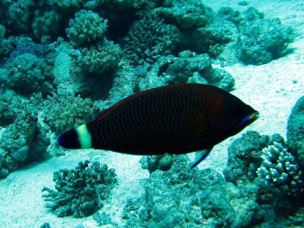 Beiteltandlipvis   Chiseltooth wrasse   Pseudodax moluccanus   Gota Abu Ramada Oost   26-03-2010