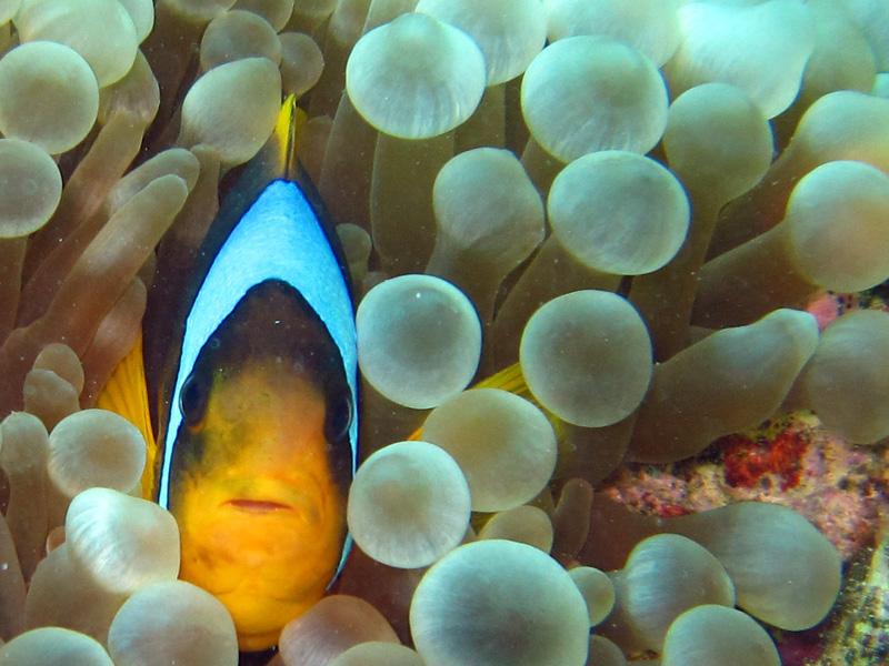 Blaasjesanemoon   Bubble-tip anemone   Entacmaea quadricolor   Small Giftun   23-09-2009