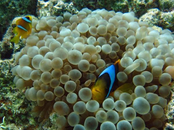 Blaasjesanemoon | Bubble-tip anemone | Entacmaea quadricolor | Small Giftun | 23-09-2009
