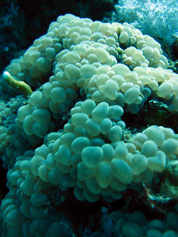 Blaasjeskoraal | Bubble coral | Plerogyra sinuosa | Abu Ramada Zuid | 09-05-2011