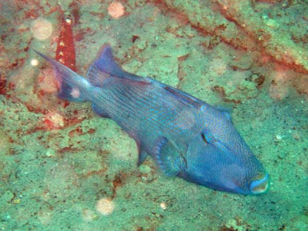 Blauwe trekkervis   Blue triggerfish   Pseudobalistes fuscus   Balena   14-09-2009