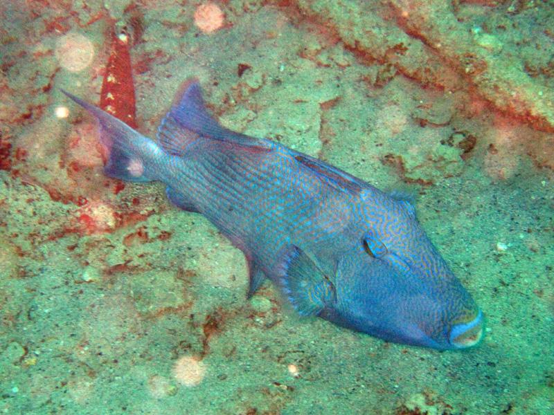 Blauwe trekkervis | Blue triggerfish | Pseudobalistes fuscus | Balena | 14-09-2009