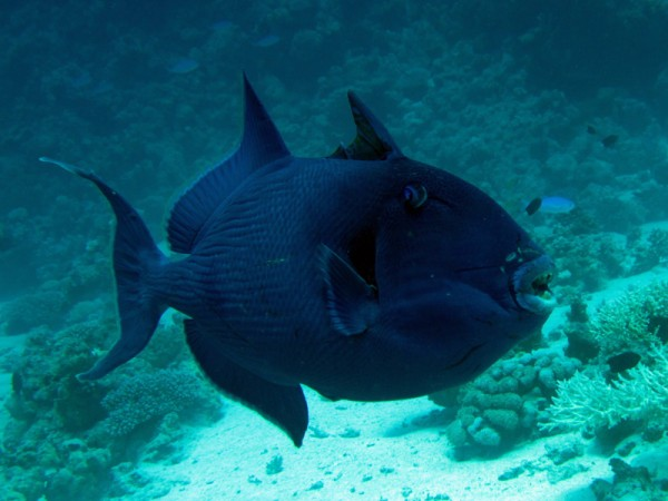 Blauwe trekkervis | Blue triggerfish | Pseudobalistes fuscus | Small Giftun | 28-06-2010