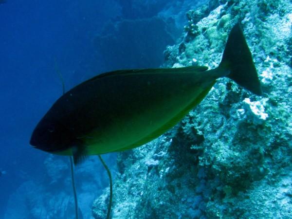 Blauwstaarteenhoornvis   Sleek unicornfish   Naso hexacanthus   Small Giftun   17-09-2009
