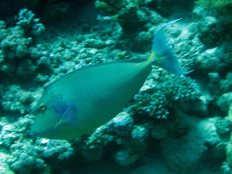 Blauwstekeleenhoornvis | Bluespine unicornfish | Naso unicornis | Erg Somaya | 25-06-2010