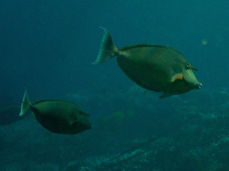 Blauwstekeleenhoornvis | Bluespine unicornfish | Naso unicornis | Shaab Alex | 21-09-2009