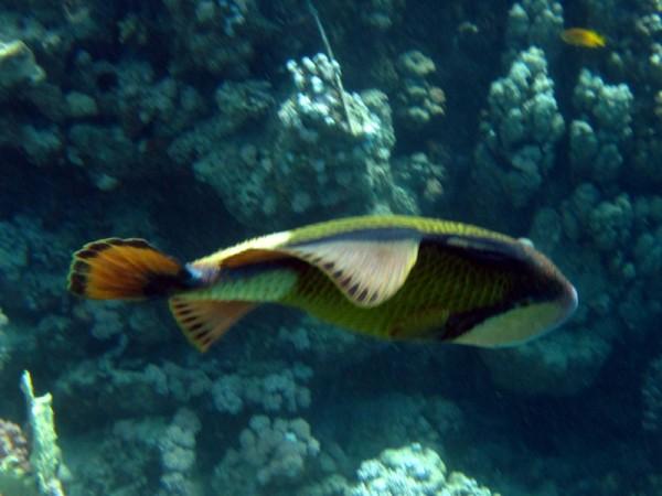 Blauwvintrekkervis | Titan triggerfish | Ballistoides viridescens | Small Giftun | 28-06-2010