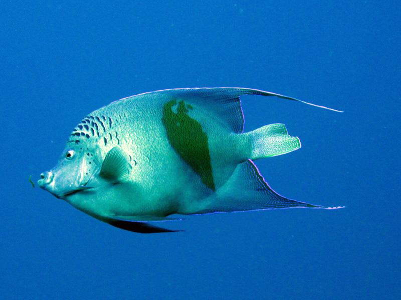 Bruid van de Zee   Yellowbar angelfish   Pomacaanthus maculosus   Abu Ramada Noord   22-09-2009
