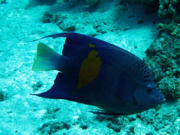 Bruid van de Zee | Yellowbar angelfish | Pomacaanthus maculosus | Ben el Gebel | 21-09-2009