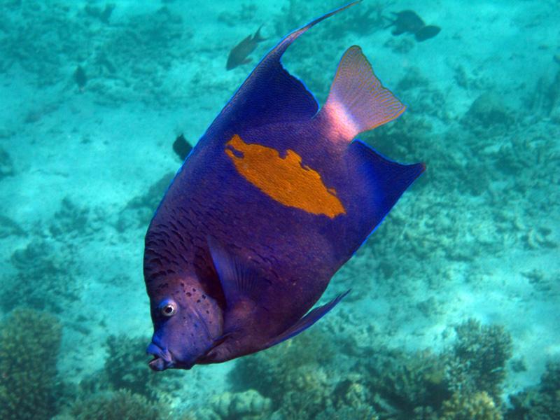 Bruid van de Zee | Yellowbar angelfish | Pomacaanthus maculosus | Marsa Abu Galawa (snorkeltrip) | 29-06-2010