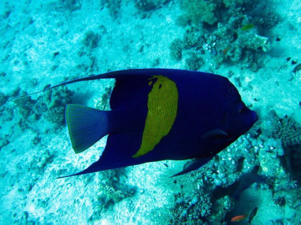 Bruid van de zee | Yellowbar angelfish | Pomacaanthus maculosus | Erg Abu Ramada > Cave Abu Ramada | 24-03-2010
