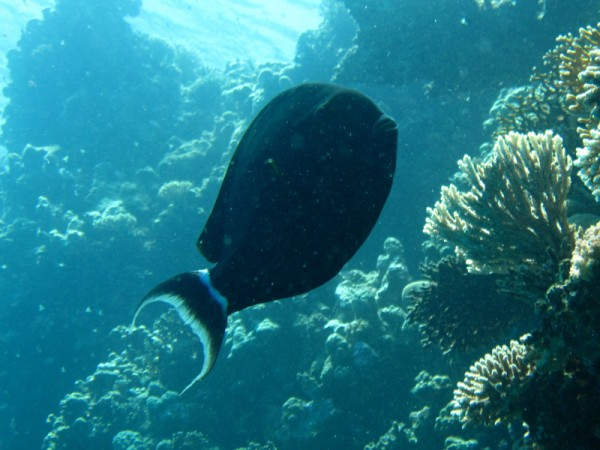 Bruine epauletdoktervis | Black surgeonfish | Acanthurus gahhm | Erg Somaya | 25-06-2010