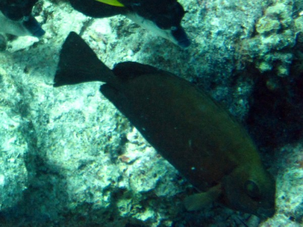 Bruine konijnvis | Squaretail rabbitfish | Siganus luridus | Abu Ramada Zuid | 15-09-2009
