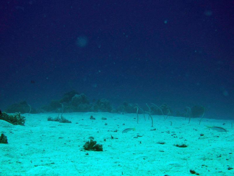 Rode Zeebuisalen | Red Sea garden eel | Gorgasia sillneri | Erg Abu Ramada | 22-09-2009