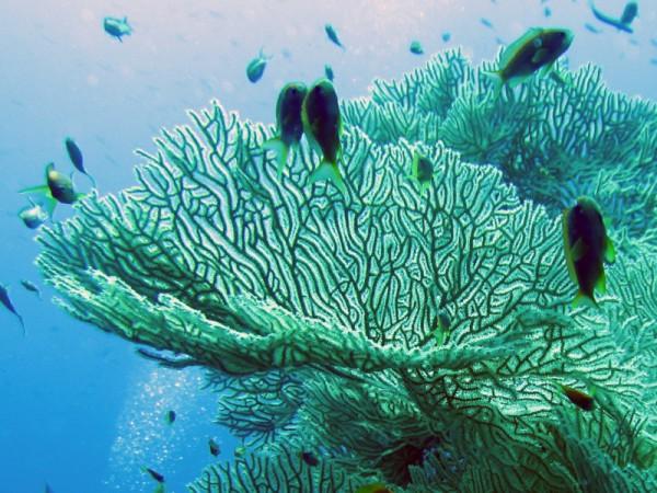 Schitterend geknopt waaierkoraal   Splendid knotted fan coral   Acabaria splendens   Small Giftun   28-06-2010