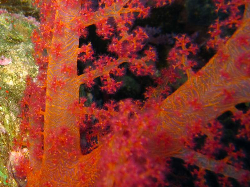 Hemphrichs zachtkoraal | Vibrant Soft Broccoli coral | Dendronephthya hemprichi | Fanous Oost | 22-01-2011