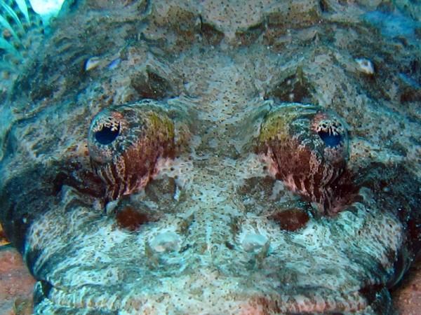 Gewone krokodilvis   Indian Ocean crocodilefish   Papilloculiceps longiceps   Gota Abu Ramada Oost   26-03-2010