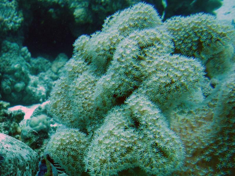 Paddenstoellederkoraal | Elephant Ear Coral | Sarcophyton trocheliophorum | Fanous West | 24-06-2010