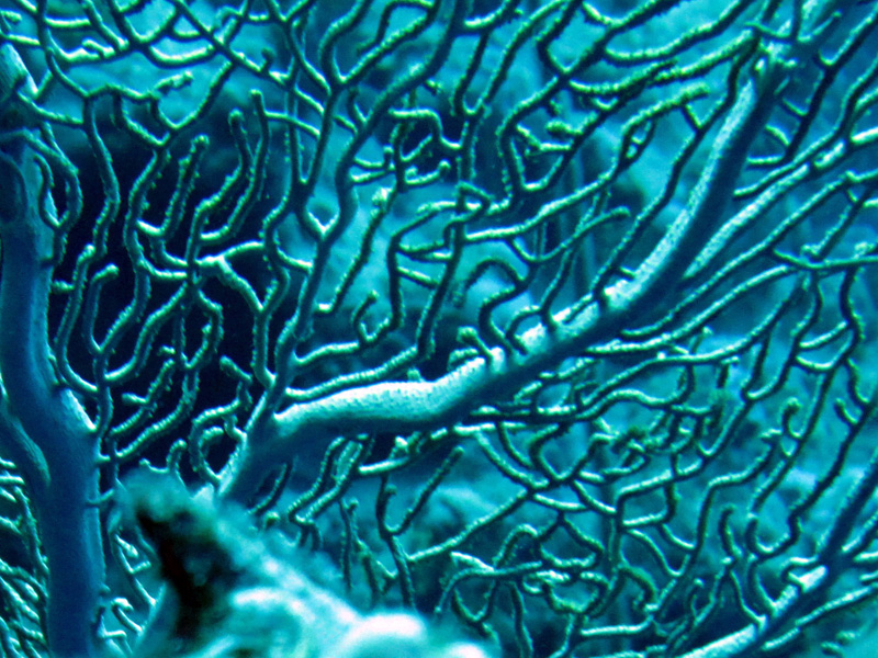 Reuzenwaaierkoraal   Giant sea fan   Annella mollis   Small Giftun   22-03-2010