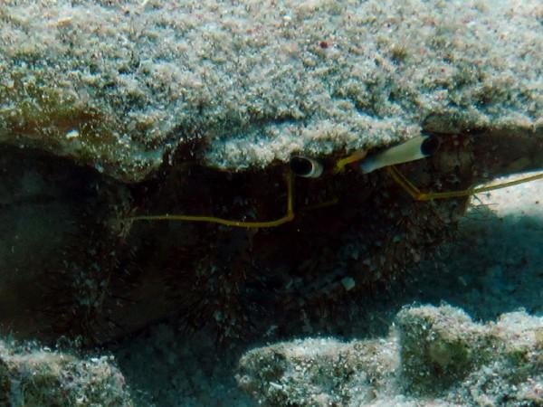 Witsteelheremietkreeft Close-up | Hairy-red hermit crab | Dardanus lagopodes | Ben el Gebel | 21-03-2010