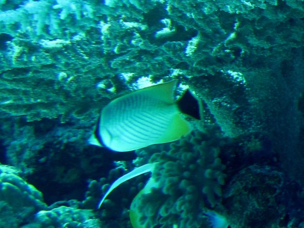 Chevronkoraalvlinder   Chevron butterflyfish   Chaetodon trifascialis   Bananareef   25-03-2010