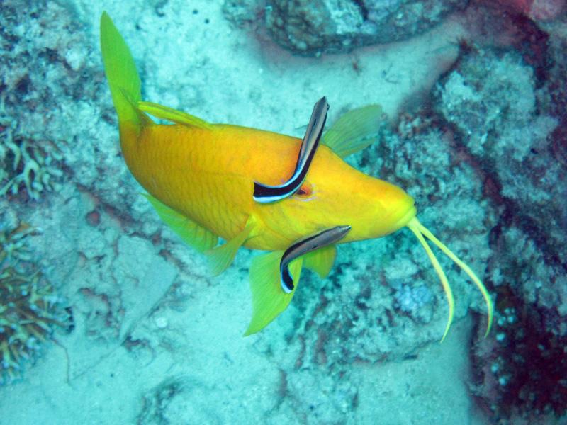 Citroenbarbeel | Yellowsaddle goatfish | Parupeneus cyclostomus | Small Giftun | 17-09-2009