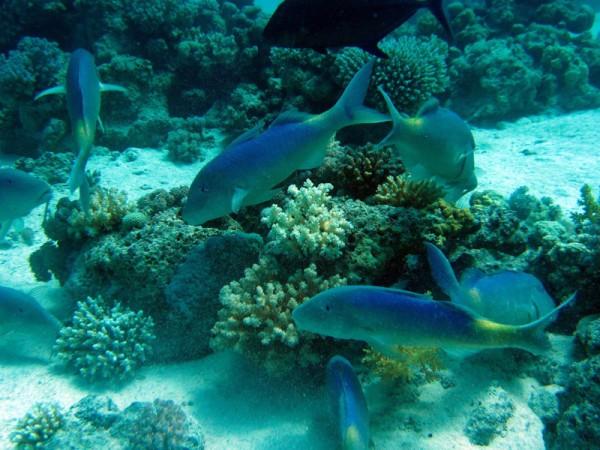 Citroenbarbeel   Yellowsaddle goatfish   Parupeneus cyclostomus   Erg Abu Ramada Oost   25-06-2010