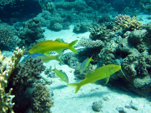 Citroenbarbelen | Yellowsaddle goatfish | Parupeneus cyclostomus | Shaab el Erg | 20-09-2009