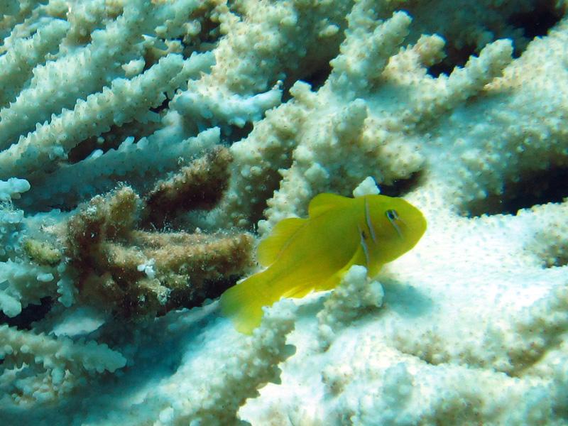 Citroengrondel | Citron coral goby | Gobiodon citrinus | El Aruk Gigi | 23-06-2010