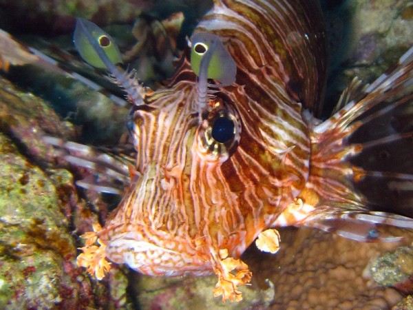 Indische Koraalduivel | Common lionfish | Pterois miles | Fanous Oost | 22-01-2011