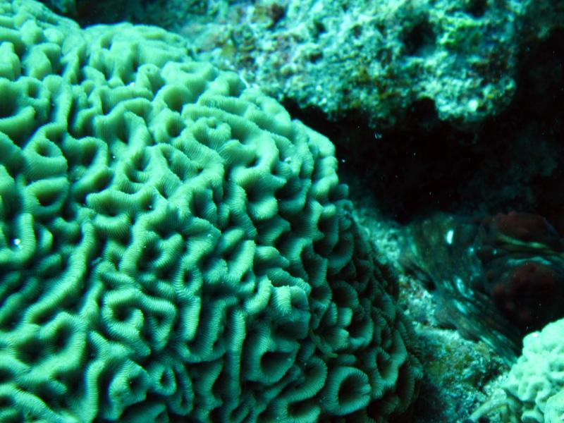 Rimpelkoraal   Wrinkle coral   Coscinaraea monile   Gota Abu Ramada Oost   23-09-2009