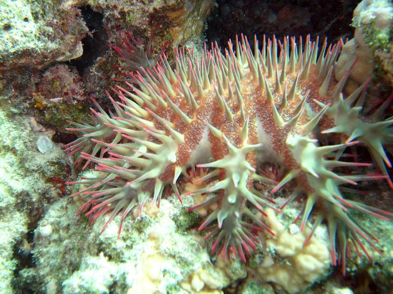 Doornenkroon | Crown of thorns starfish | Acanthaster planci | Fanadir Noord | 27-06-2010