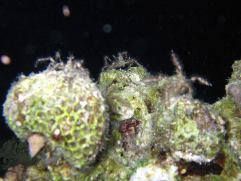 Doornige spinkrab   Spiny Spider Crab   Achaeus spinosus   Fanadir Zuid   25-06-2010
