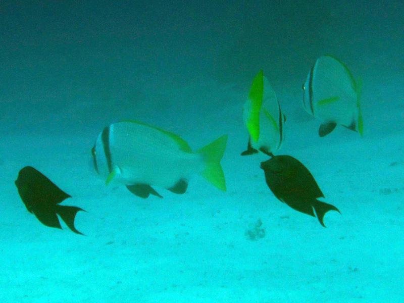 Dubbelbandzeebrasem | Doublebar bream | Acanthopagrus bifasciatus | El Aruk Gigi | 23-06-2010