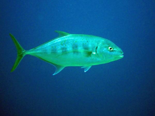 Dwarsgestreepte makreel | Barred trevally | Carangoides ferdau | Bananareef | 25-03-2010