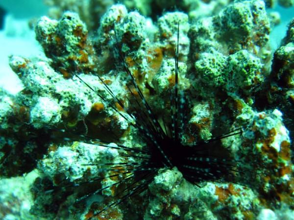 Geringde zee-egel | Banded urchin | Echinothrix calamaris | Gota Abu Ramada West | 24-01-2011